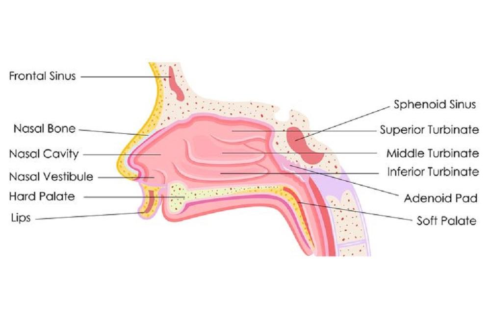 Bagian – Bagian Hidung