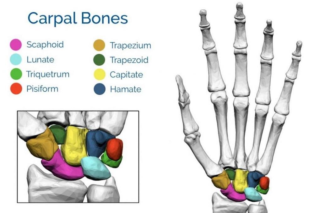 Fungsi Tulang Telapak Tangan