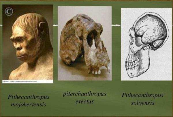 Pithecanthropus Soloensis Ciri Ciri Corak Dan Cara Hidup